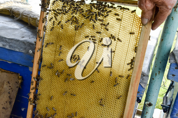 Roy bees on wax combs. Bee honeycomb, Plank with honeycomb from the hive. Honey bee. Honey bees on the home apiary. The technology breeding of honey bees.