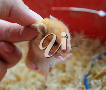 Hamster in hand. Hamster hold the scruff. Hamster held with fingers.