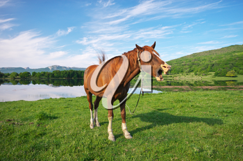 Horse open mouthed as if shouting.  Lake and summer grass.