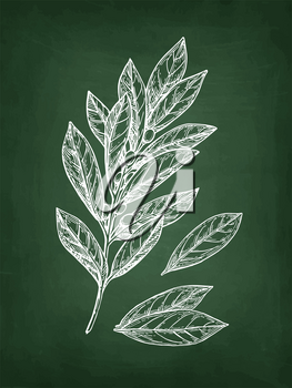 Bay laurel branch and leaves. Chalk sketch on blackboard background. Hand drawn vector illustration. Retro style.