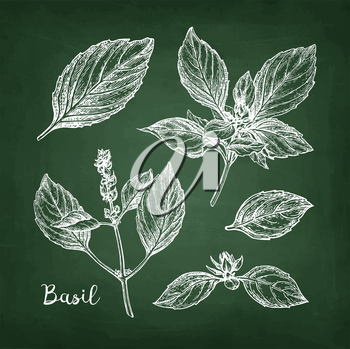 Basil set. Chalk sketch on blackboard background. Hand drawn vector illustration. Retro style.
