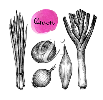 Onions, leeks and scallions. Set of ink sketches isolated on white background. Hand drawn vector illustration. Retro style.