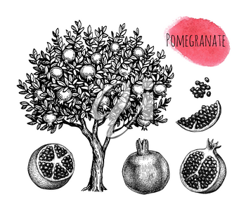 Pomegranate set. Tree, fruits and seeds. Ink sketch isolated on white background. Hand drawn vector illustration. Retro style.