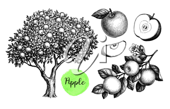 Apple tree, branch and fruits. Ink sketch set isolated on white background. Hand drawn vector illustration. Retro style.