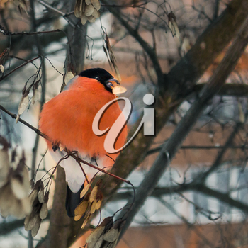 Beautiful bullfinch sits on a branch and have maple seeds.