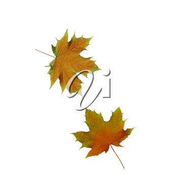 collage Autumn maple leaves isolated on white background