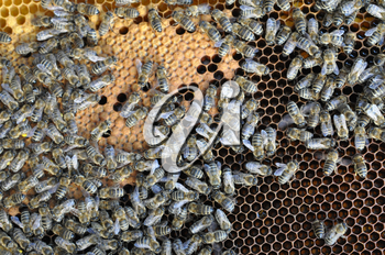 Bees on honey cell in the hive.