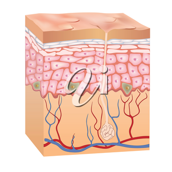 Human skin structure. 3d anatomy of the epidermis. Vector illustration isolated on white background.