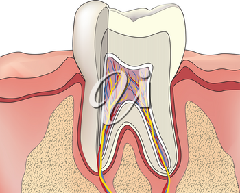 Tooth structure. Anatomy of teeth. Dental medical illustration.