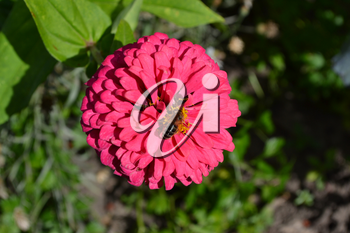 Flower major. Zinnia elegans. Flower pink. Bee. Close-up. In the sunlight. Garden. Field. Floriculture. Large flowerbed. Horizontal