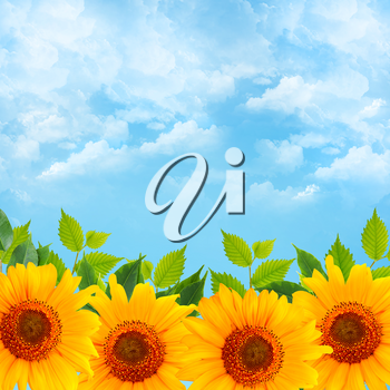 Background with blue sky, green leaves and sunflowers