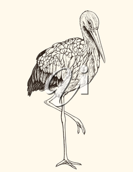 Hand drawn vector illustration of white stork. Vintage sketch of animal in the wild nature