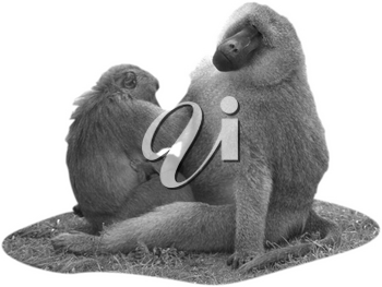 Royalty Free Black and White Photo of a Family of Baboons