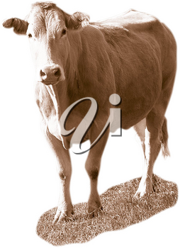 Royalty Free Photo of a Cow