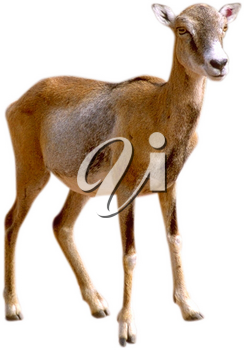 Royalty Free Photo of a Deer