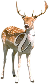 Royalty Free Photo of a Young Deer