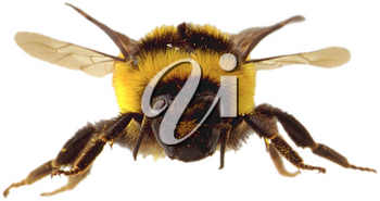 Royalty Free Photo of a Bumble Bee