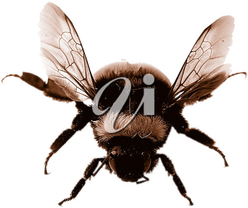 Royalty Free Photo of a Bumblebee