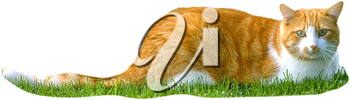 Royalty Free Photo of an Orange and White Cat in the Grass