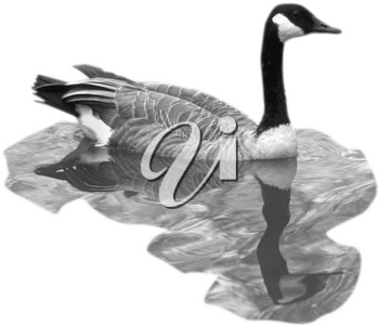 Royalty Free Photo of a Canada Goose Swimming in the Water