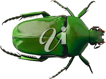 Royalty Free Photo of a Green Beetle