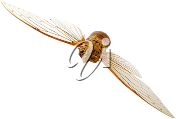 Royalty Free Photo of a Cicada in Flight