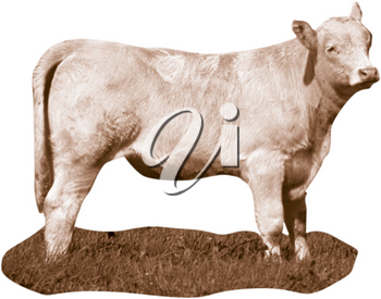Royalty Free Photo of a White Cow