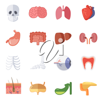 Male and female anatomy. Vector illustration set of human organs. Collection of vital organs kidney, liver and brain