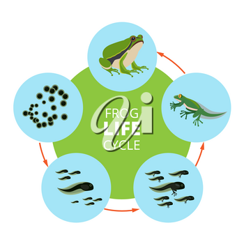 Nature infographic illustrations of frog life cycle. School vector pictures isolate. Frog cycle process transformation and reproduce