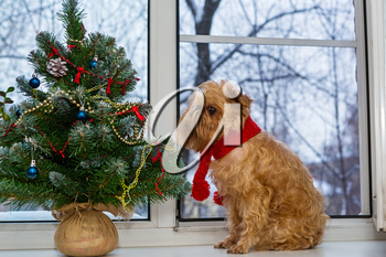 Dog breed Brussels Griffon and a Christmas tree on the windowsill