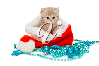 Kitten British marble and Christmas toys on a white background