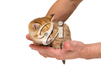 Little orange kitten under the protection of men's hands, isolated on white