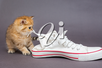 Small British kitten and white sneakers on gray background