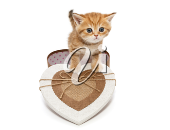 Little kitten British breed and a box in heart shape