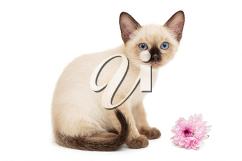 Small Siamese kitten and pink flower isolated on white background