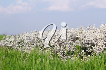 meadow with green grass and white flower