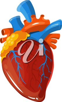 Human heart anatomy vector medical illustration. Realistic vital organ isolated on white background