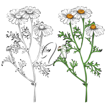 Chamomile silhouette and colorful isolated on white background. Blossom nature floral, vector illustration