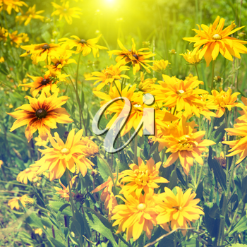 Blooming yellow rudbeckia (Black-eyed Susan flower) with sun light and green grass