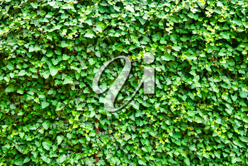 Wall of the leaves. Ivy (Hedera helix)