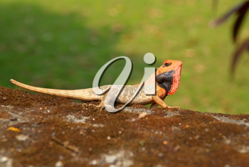 Orange-headed agama on the soft green grass background.