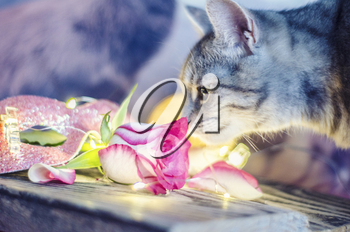The kitten is smelling a pink rose against the background of lights of garlands. . Valentine day photo.
