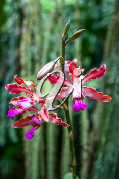 Orchid in Singapore Botannical Gardens