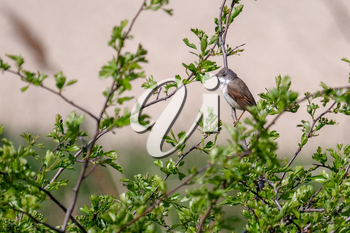 Lesser Whitethroat (Sylvia curruca)  perched in an Hawthorn tree