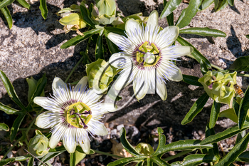 Passion Flower (Passifloraceae) in full bloom in Italy