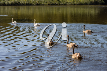 Mute Swans and  cygnets swimming across Hedgecourt Lake
