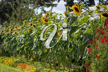 A row of Sunflowers (Helianthus annuus) blooming in the summer sunshine