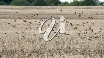 Common Linnets (Linaria cannabina) in flight over a recently harvested rape field