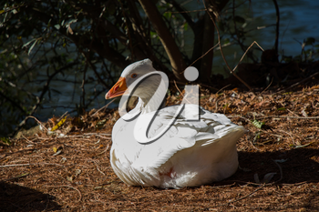 White duck are by the side of the pond