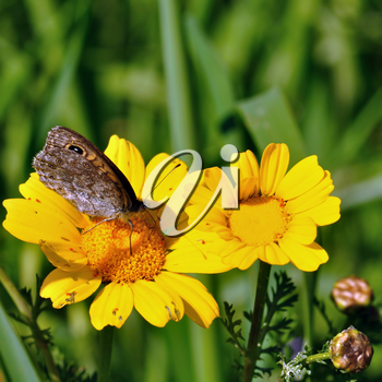Butterfly feeding on yellow flower nectar. Spring background.